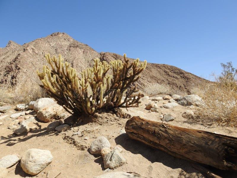 Заглядывать кактус ` s Cholla на парке штата пустыни Anza-Borrego стоковое фото rf