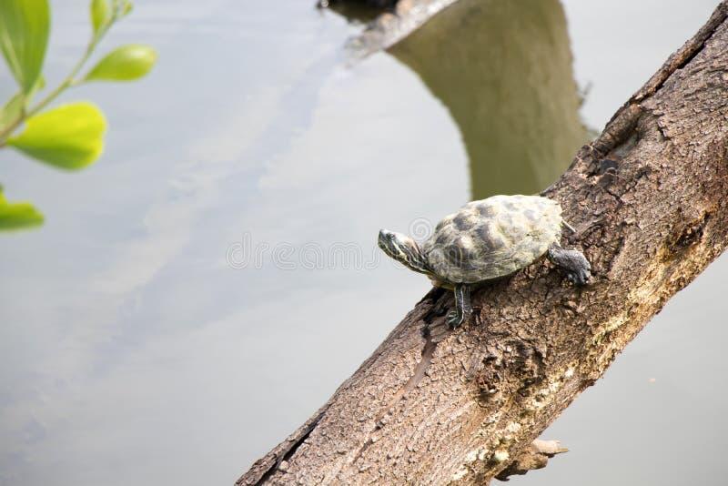 Загорать черепахи Malayemys стоковые изображения