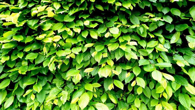 Загородка стены зеленого растения горизонтальная стоковая фотография