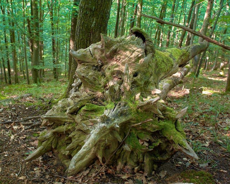 Загубленное дерево бука в лесе, весне morrning в Medvednica стоковые изображения rf