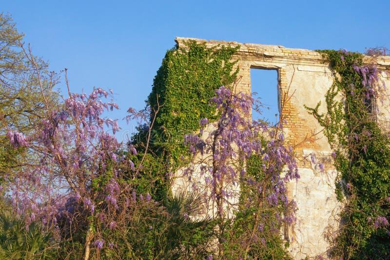 Загубленное здание весной Стена получившегося отказ дома перерастанного с зеленым плющом и зацветая глицинией на солнечный день стоковая фотография