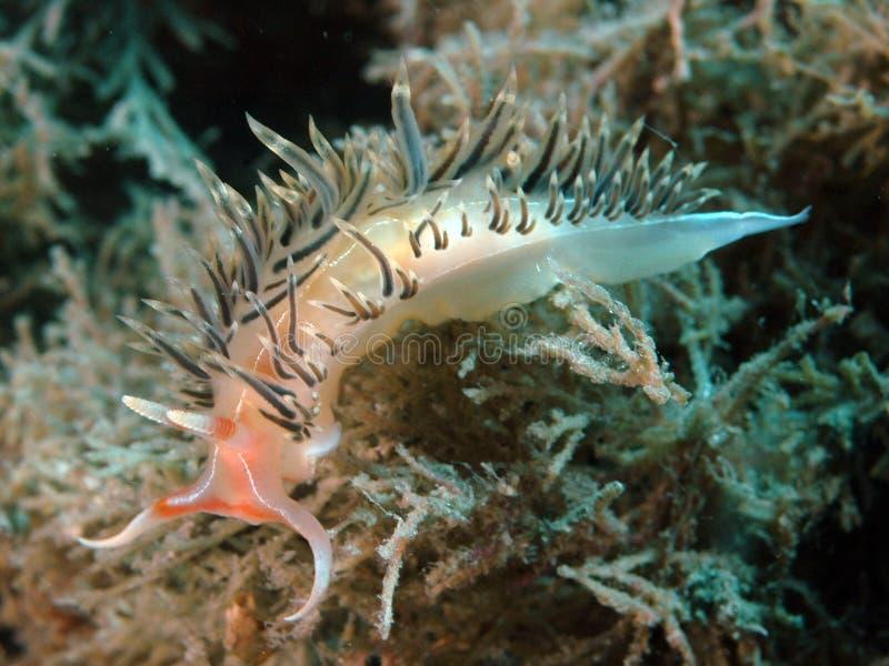 заднее nudibranch края стоковое изображение