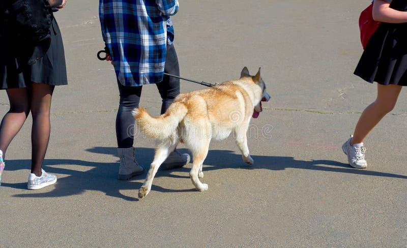 Задний взгляд молодых женщин идя ее собаки на улицах города стоковое фото rf