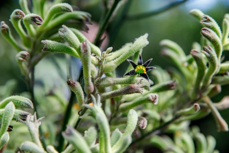 Задний освещенный силуэт австралийских родных красных цветков лапки кенгуру, Anigozanthos, семья bloodwort Haemodoraceae семьи стоковое фото rf