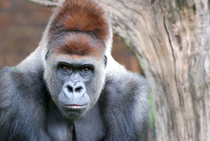 задний серебр гориллы стоковые изображения rf