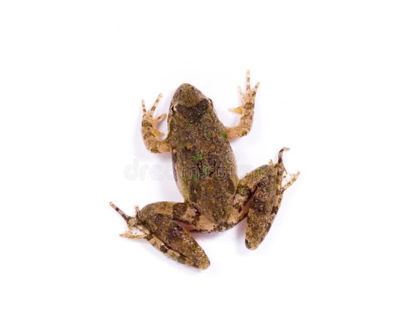 задняя малая жаба стоковые фотографии rf