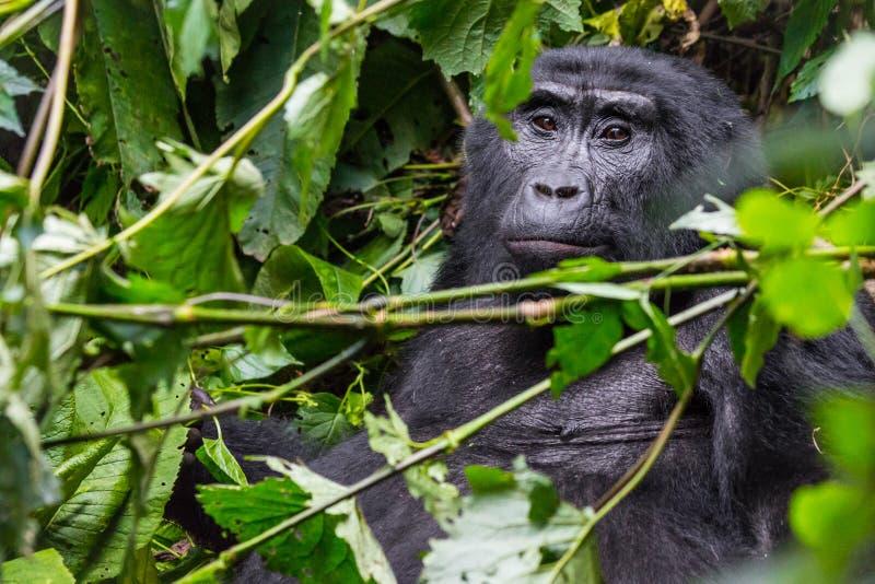 Задумчивая горилла в труднопроходимом лесе стоковые изображения rf