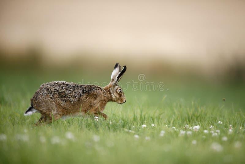Download Зайцы Брайна, Europaeus Lepus Стоковое Фото - изображение насчитывающей поле, lepus: 33728448