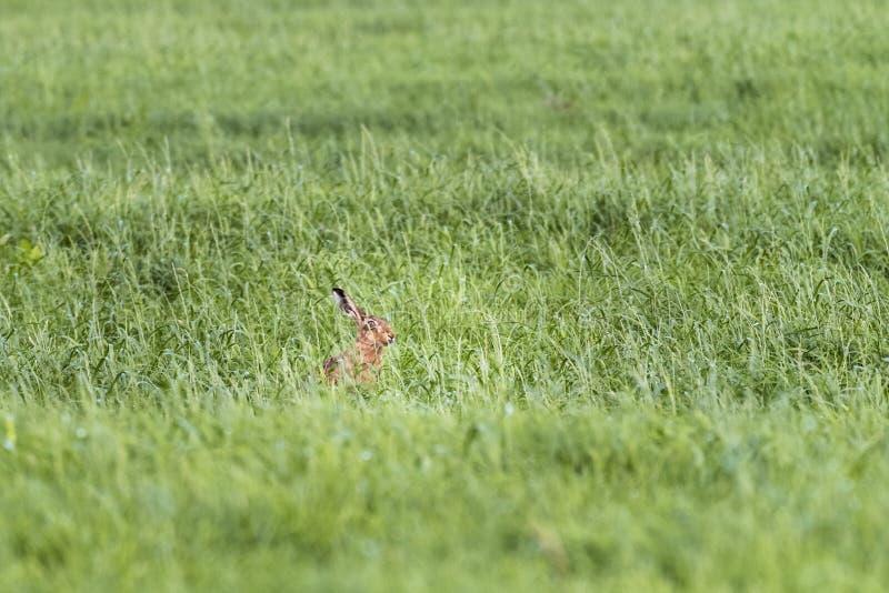 Зайцы в выгоне в весеннем времени стоковые изображения rf