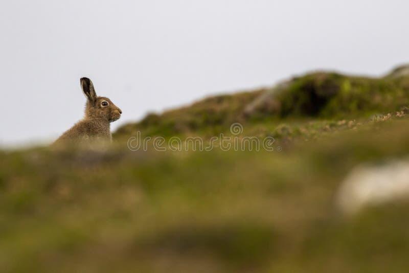 Зайцы горы, timidus Lepus, во время августовского на overcast и ветреного дня на горе в cairngorm NP, Шотландия стоковая фотография rf