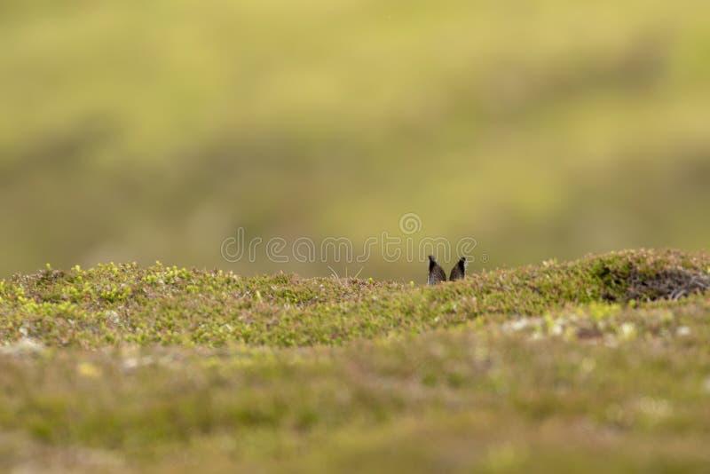 Зайцы горы, timidus lepus, усаживание, пряча на низком лежа вереске в лете, июнь на горе в национальном парке cairngorms стоковое изображение rf