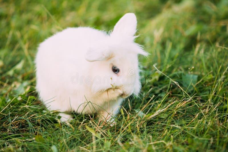Зайчик кролика породы близкого карлика голубых глазов Сокращать-ушастого Снег-белый смешанный стоковая фотография rf