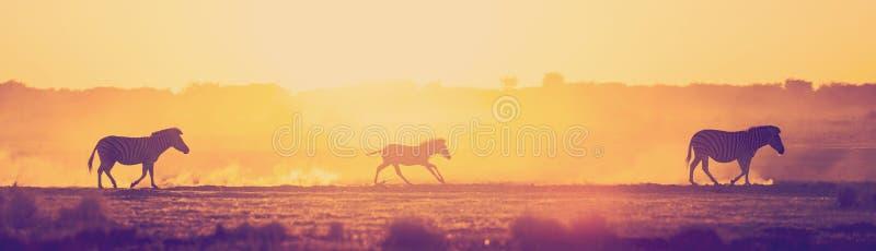 Закат семьи Зебра Ботсвана Африка стоковая фотография