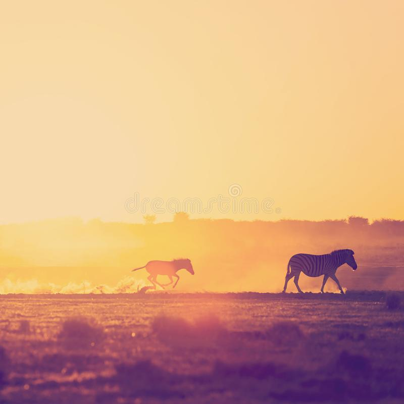 Закат семьи Зебра в Африке стоковое фото