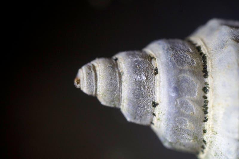 закрепляя изолированная белизна раковины моря путя близкий макрос мухы цветка отдыхая вверх стоковое изображение