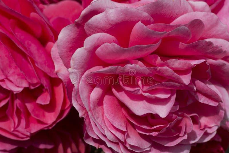 Закройте близко вверх розовых цветков стоковая фотография