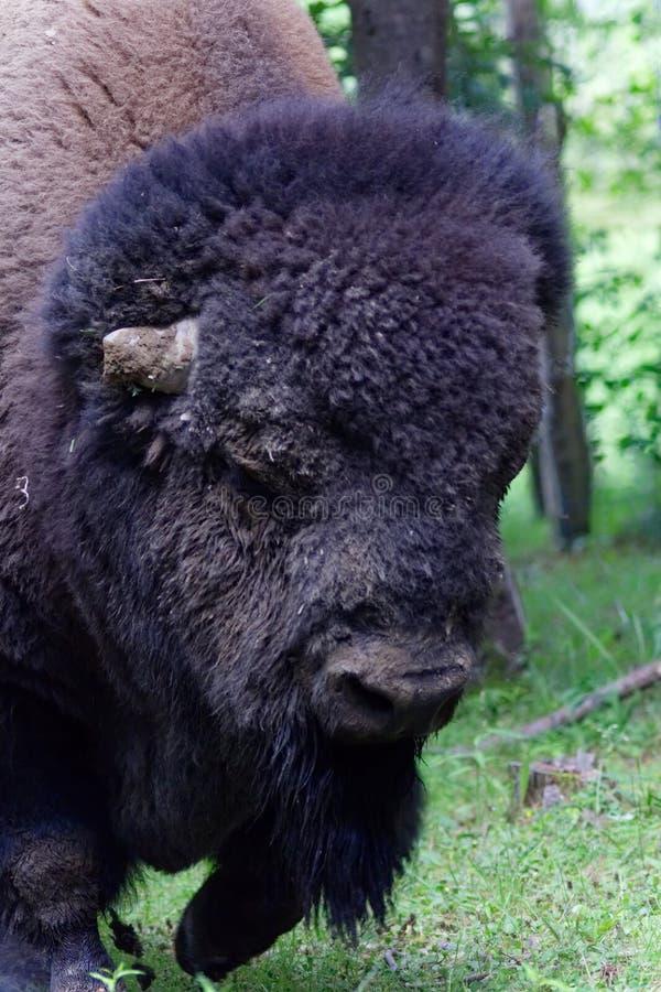 Закройте вверх американских фото голов-запаса буйвола стоковые изображения rf
