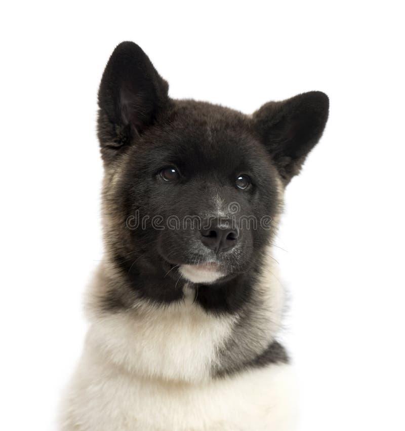 Закройте вверх американского щенка Акиты, изолированный на белизне стоковые фото