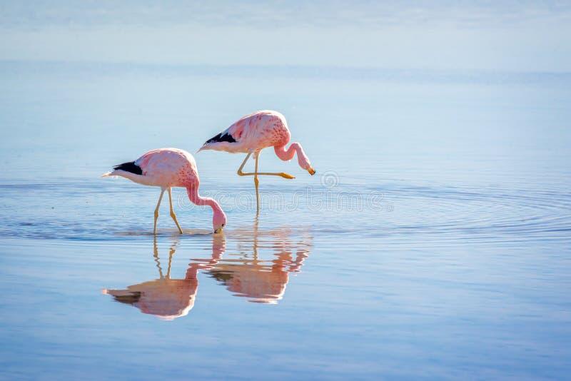 Закройте вверх андийских фламинго в Laguna Chaxa, Atacama Саларе, Чили стоковая фотография