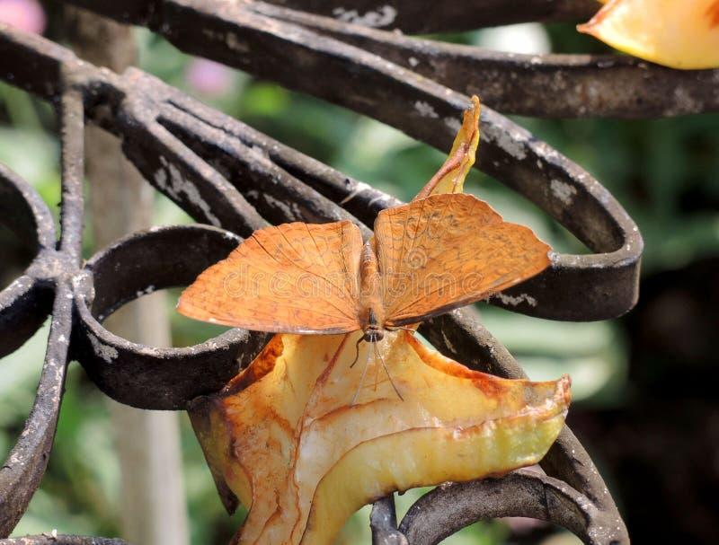 Закройте вверх бабочки есть плодоовощ стоковые фотографии rf