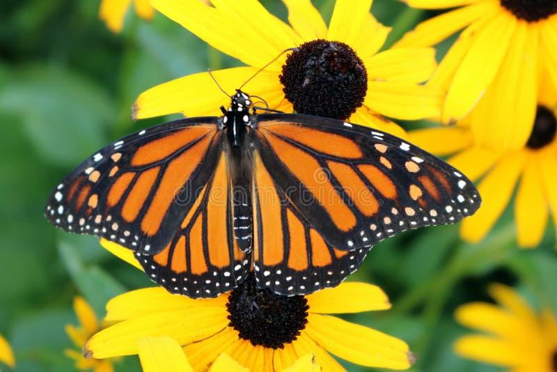 Закройте вверх бабочки монарха на Черно-Наблюдать Сьюзан стоковое изображение