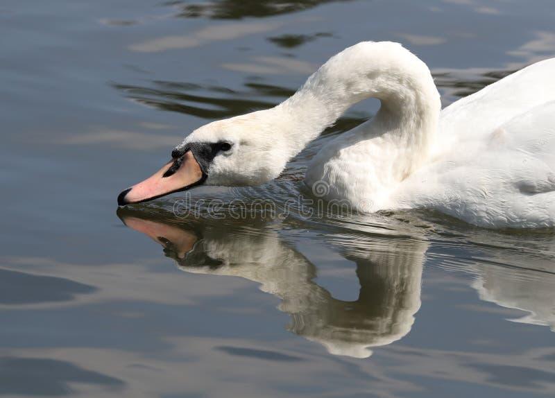 Закройте вверх безгласного лебедя стоковые фотографии rf