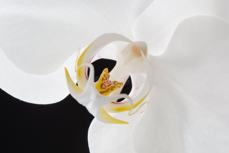 Белая орхидея на черной предпосылке стоковое фото rf