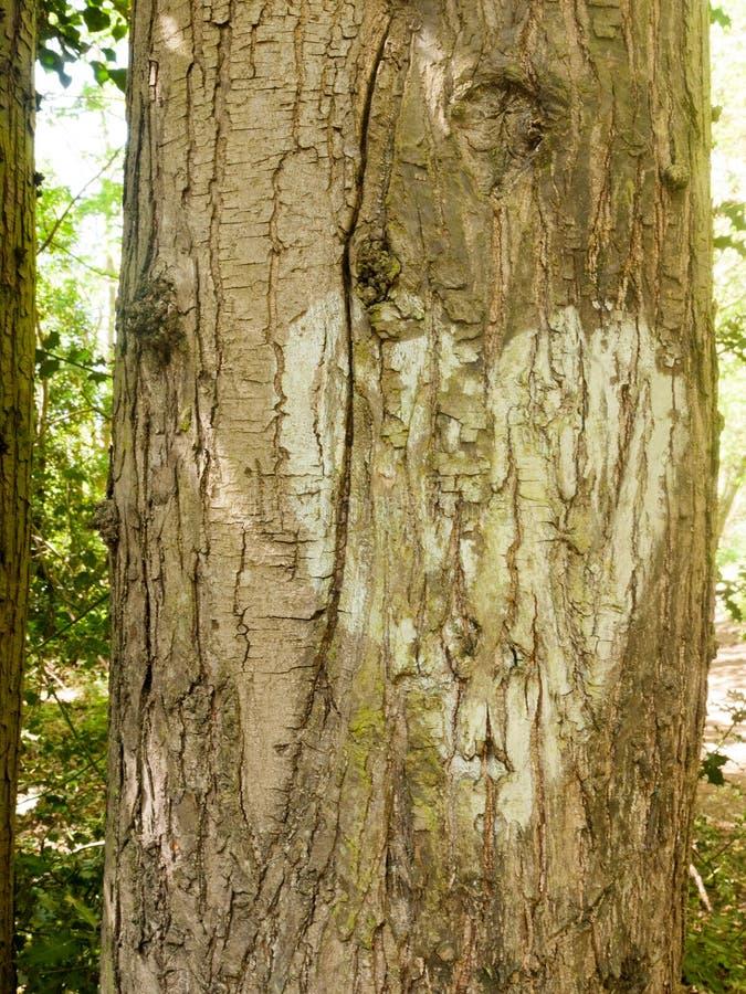 Закройте вверх белого сердца покрашенного на кору дерева снаружи в стоковые фото
