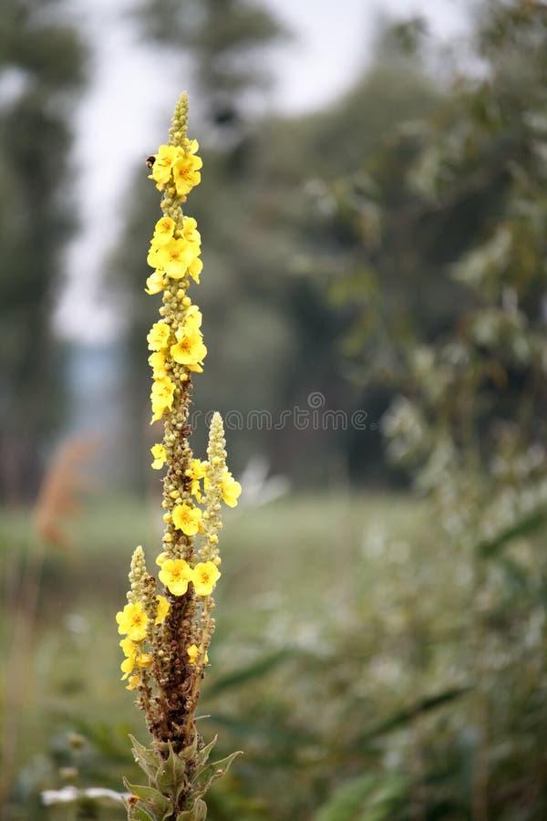 Закройте вверх большего mullein или общих цветков mullein, thapsus verbascum в цветении, выборочном фокусе стоковое изображение