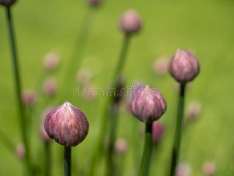 Закройте вверх бутонов цветка Chives стоковые изображения rf