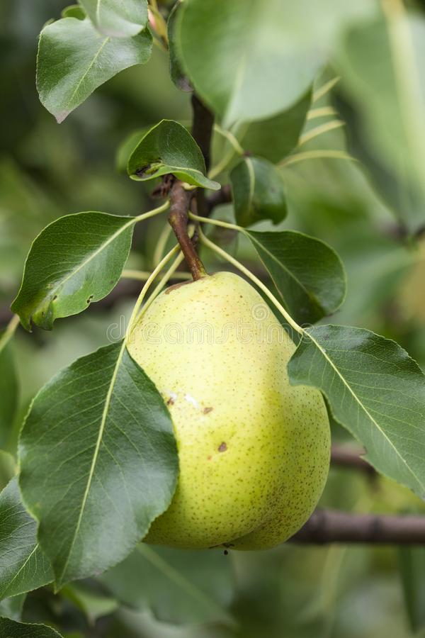 Закройте вверх ветви сочных груш на дереве стоковые фото