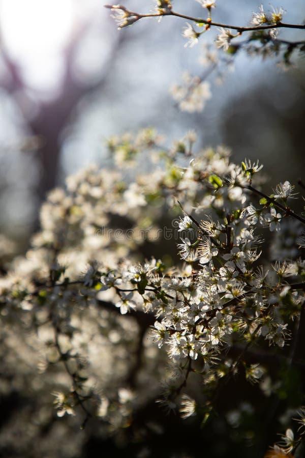 Закройте вверх ветви с белыми маленькими цветками и светом на заднем плане стоковые фото