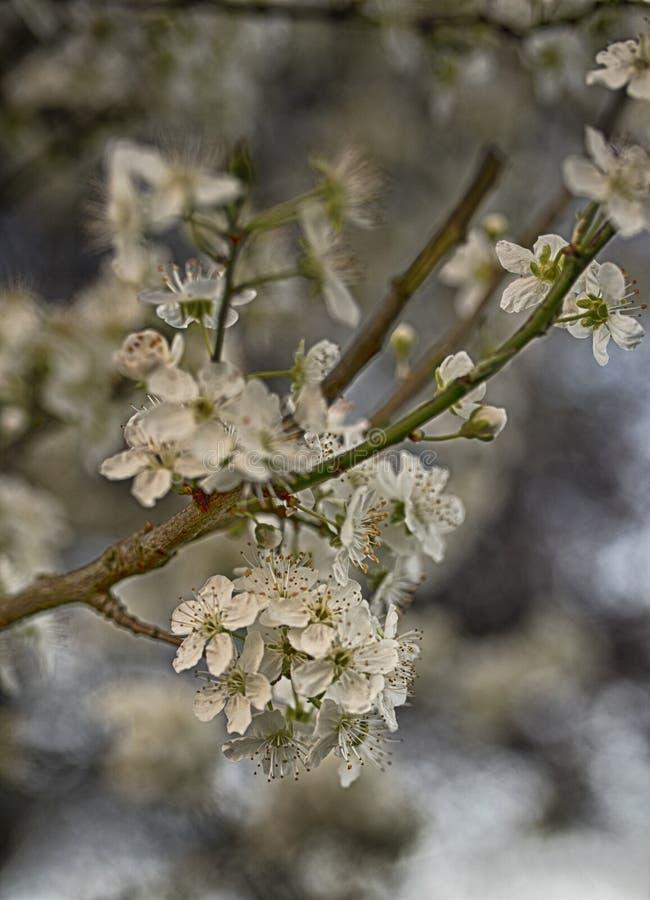 Закройте вверх вишневого цвета весной стоковые фото