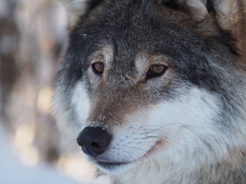 Закройте вверх волка в Европе стоковые изображения rf