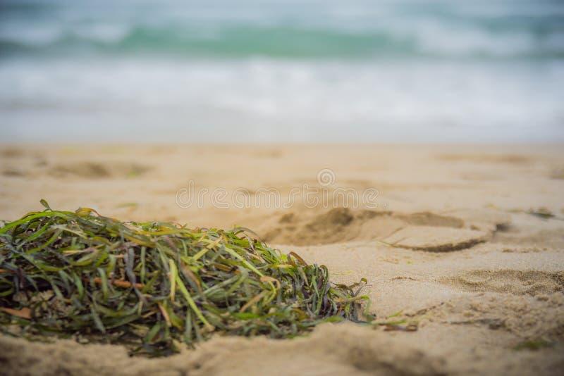 Закройте вверх водорослей на песке пляжа стоковая фотография rf