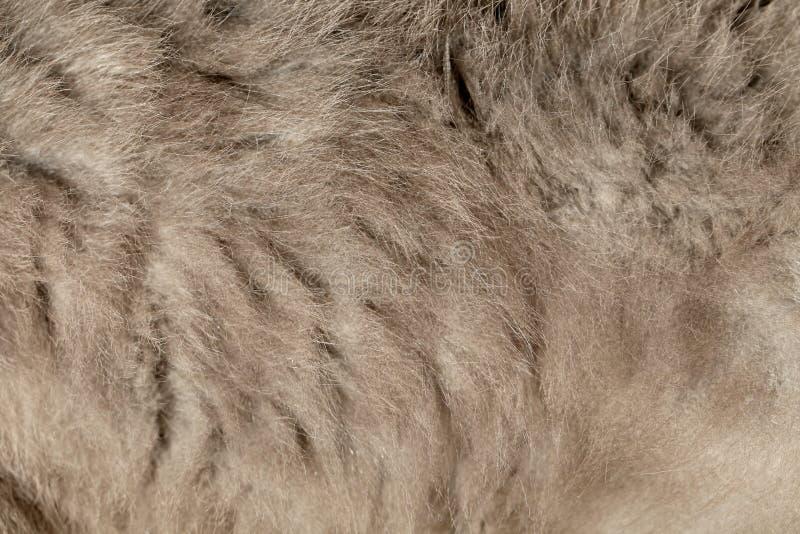 Закройте вверх волос серого цвета кота. стоковое фото
