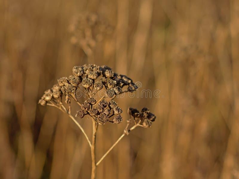 Закройте вверх высушенных коричневых seedpods цветка пижмы - vulgare Tanacetum стоковые изображения rf