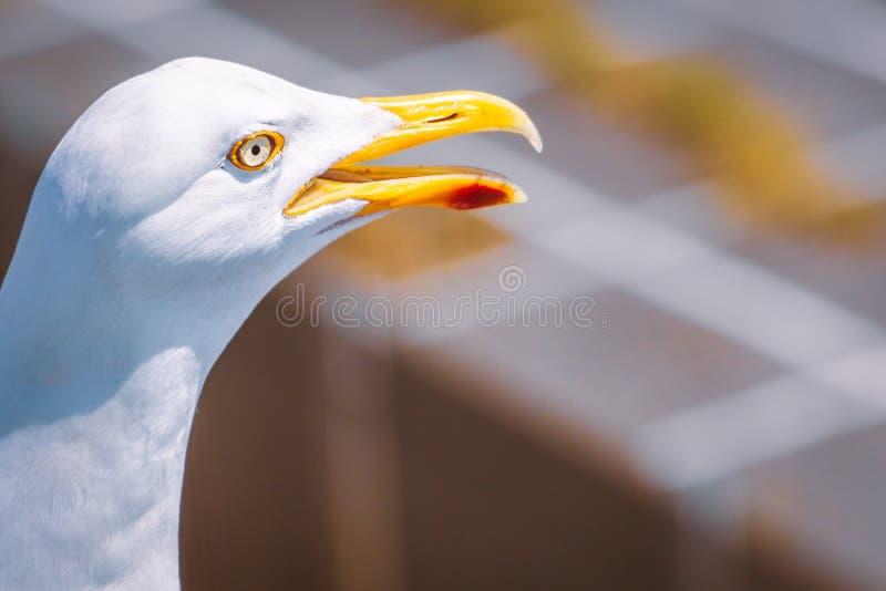Закройте вверх головы и глаза чайки со своим желтым клювом с красной маркировкой открытой с возможным космосом экземпляра стоковая фотография rf