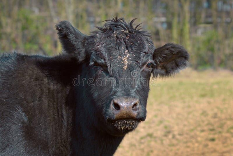 Закройте вверх головы черных скотин Абердина Ангуса животной стоковые изображения rf