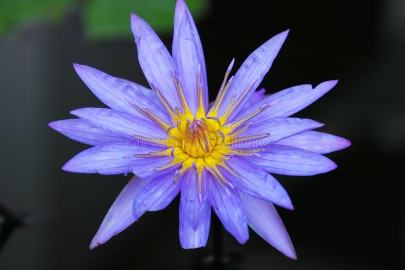 Закройте вверх голубого и желтого цветка лотоса, Чиангмая, Таиланда стоковое изображение