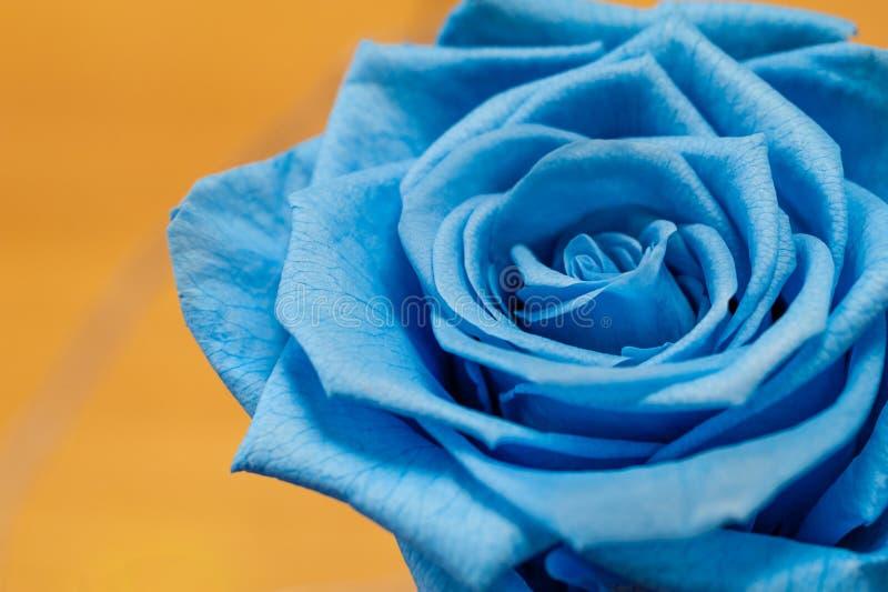 Закройте вверх голубой розы на желтой предпосылке стоковая фотография rf
