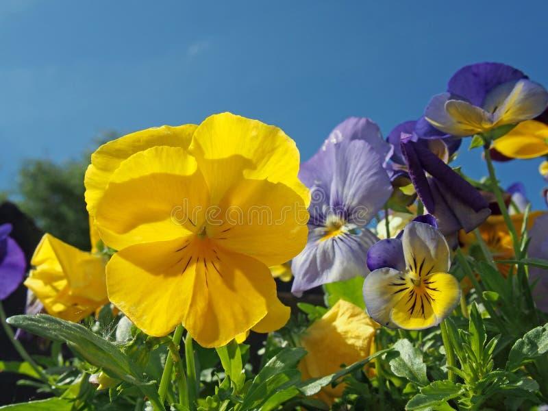 Закройте вверх голубых и желтых tricolor pansies в ярком солнечном свете против живого голубого неба стоковое фото