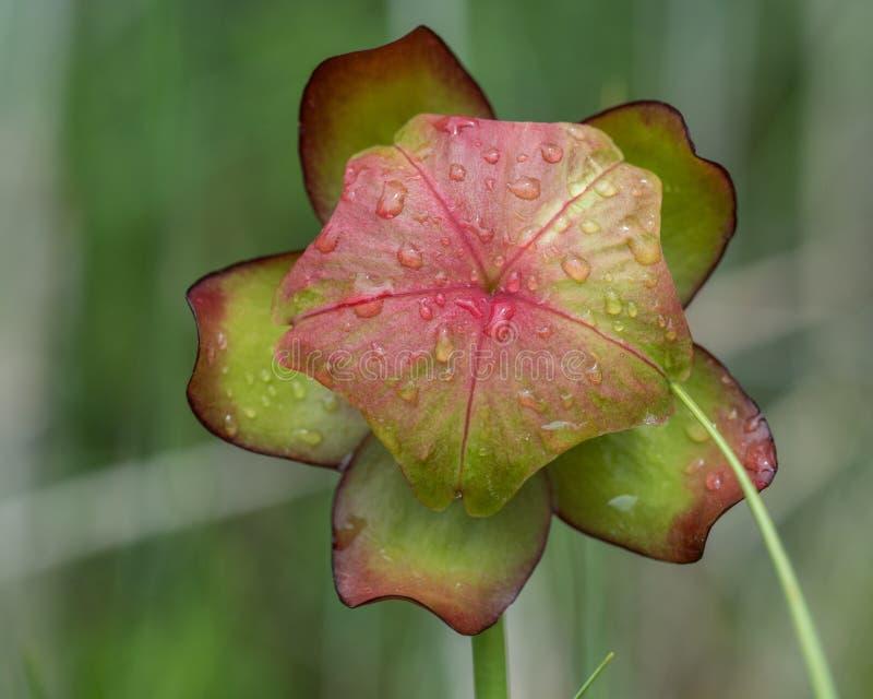 Закройте вверх головы цветка одичалого Кувшин-завода стоковая фотография