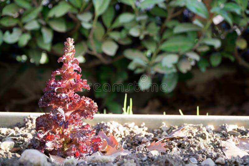 Закройте вверх декоративной капусты, орнаментальных заводов капусты Картина природы органическая текстура капуста свежая стоковое изображение
