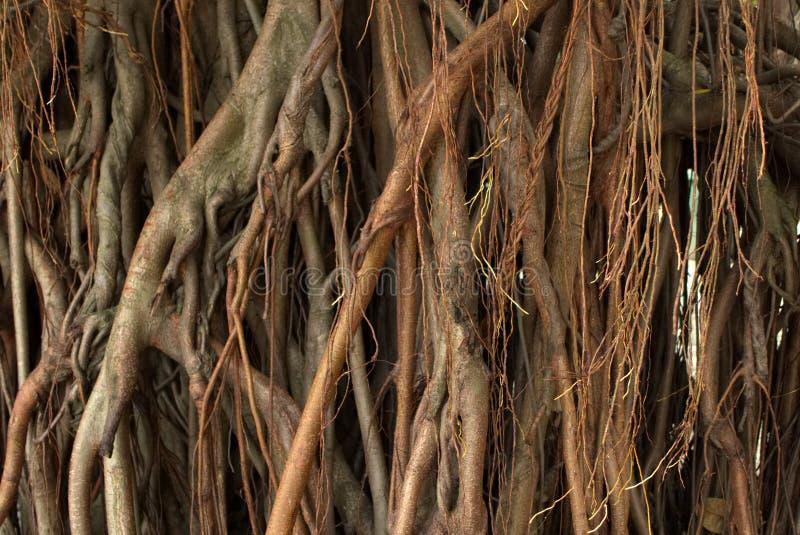Закройте вверх дерева воздушных корней дерева Bayan стоковое фото