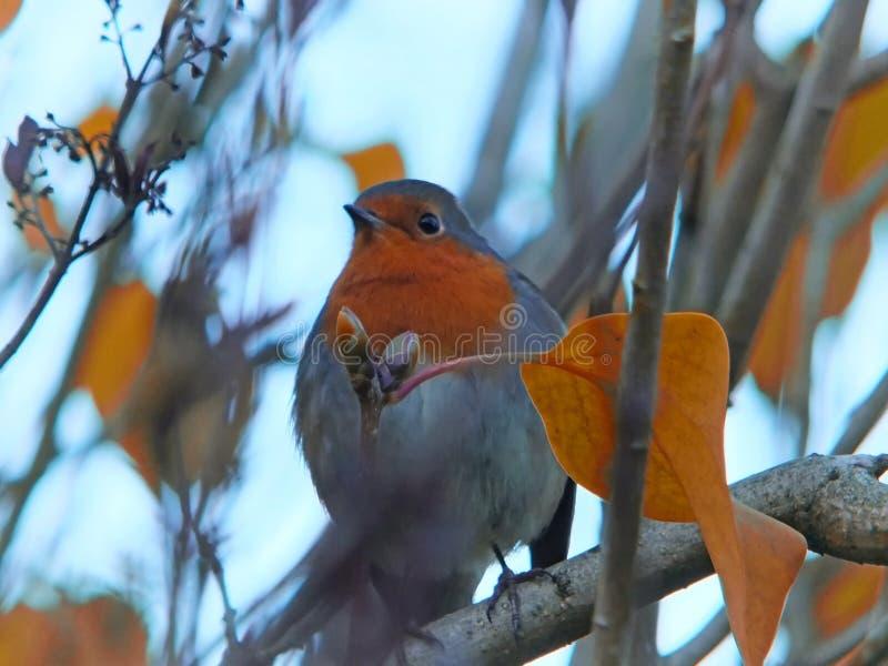 Закройте вверх европейского робина садить на насест в дереве с яркими листьями осени и запачканной предпосылкой стоковая фотография