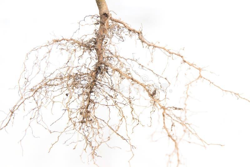 Закройте вверх дерева корней стоковые изображения rf