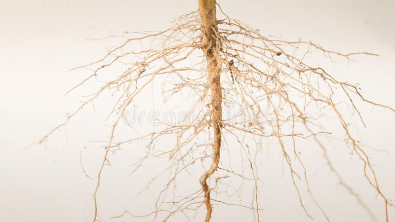 Закройте вверх дерева корней стоковая фотография