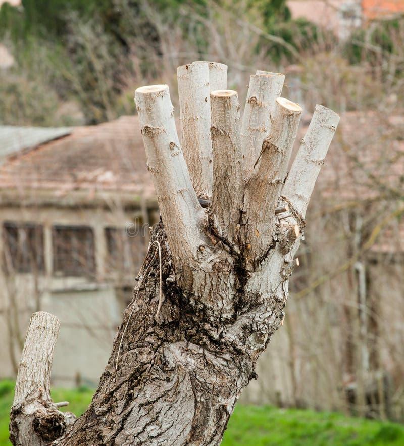 Закройте вверх дерева Pruned стоковое фото rf