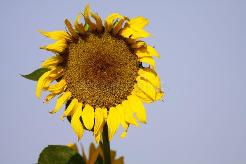 Закройте вверх желтого цветеня annuus подсолнечника солнцецвета и зеленых листьев сравнивая с голубым небом перед увядать в осени стоковое фото